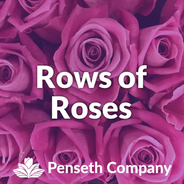 rows of rose from the penseth company